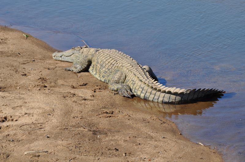Nilkrokodile gibt es auch in der Nähe des Nassersee